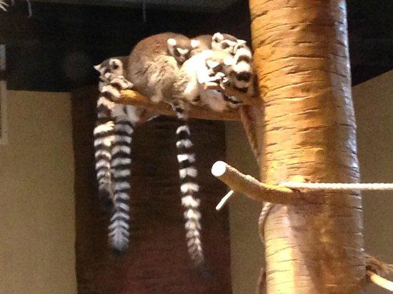 South Carolina Aquarium: Madagascar exhibit at the aquarium with cool looking lemurs.