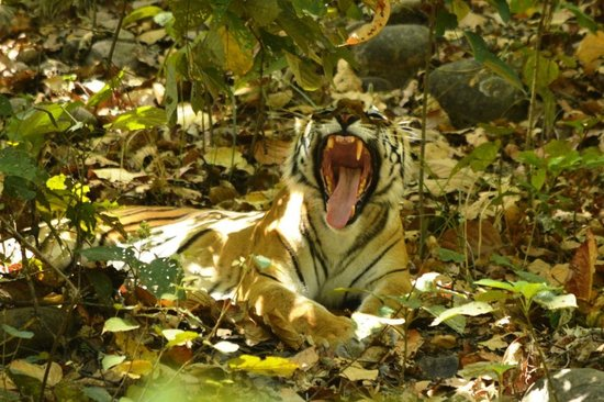 Jim Corbett National Park, Indien: yawn