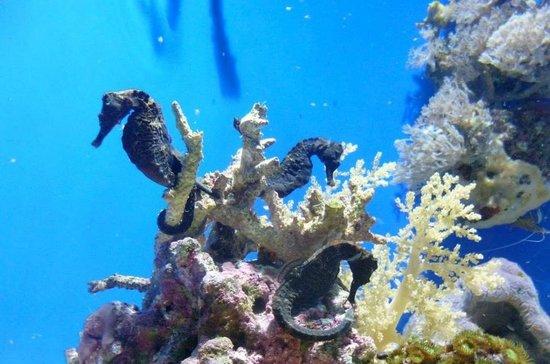 Cavallucci marini foto di oceanographic museum of monaco - Colorazione cavallucci marini in ...