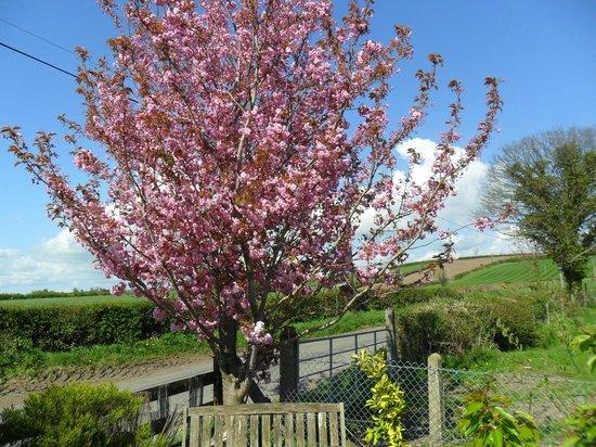 Hillside Bed & Breakfast: Cheery Blossom Looking Great