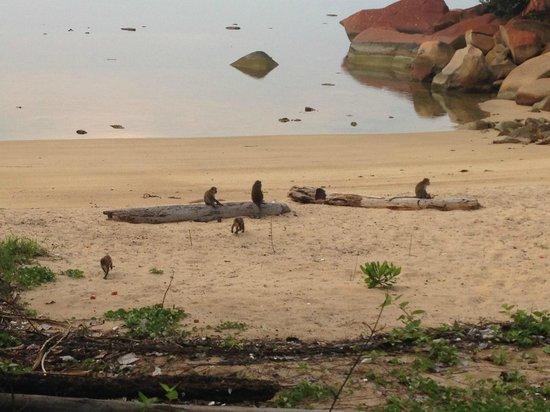 Club Med Bintan Island : monkeys