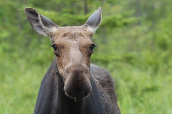 Casey's Spencer Bay Camps: Casey's Welcome Moose…