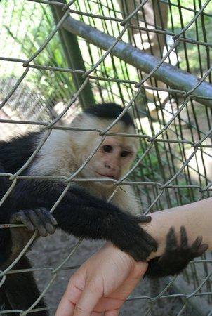 Costa Rica Wildlife Sanctuary: Capuchin monkey. Aka Marcel from Friends