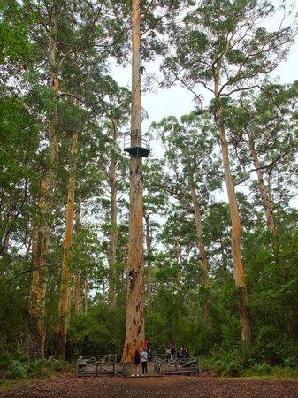 Dave Evans Bicentennial Tree: full view