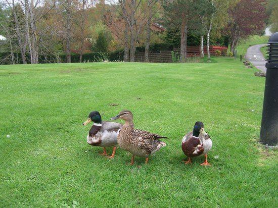 Moness Resort: Ducks