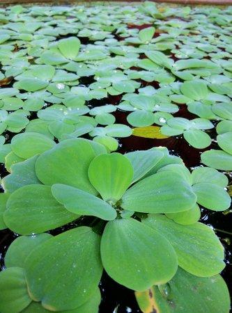 Maison de Jim Thompson : pond plant