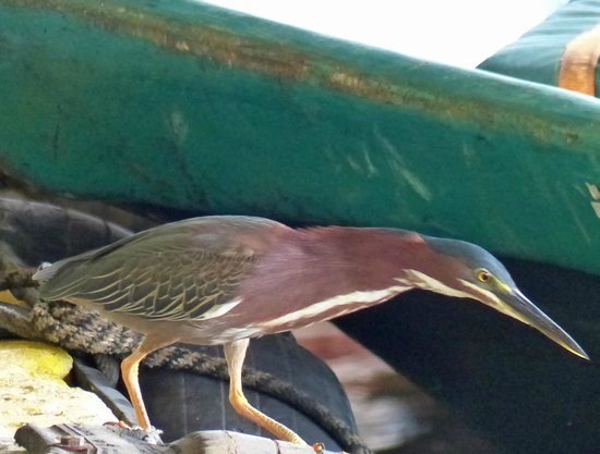 Green Heron on the dock at Pachira Lodge