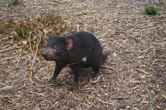 Healesville Sanctuary: Tasmania devil