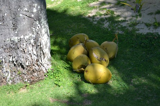 Nukubati Private Island: Fresh coconuts for Fijian BBQ