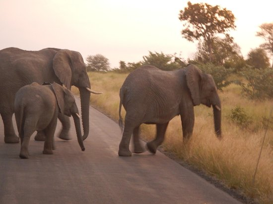 Kambaku Safari Lodge: Elephants Crossing the Road