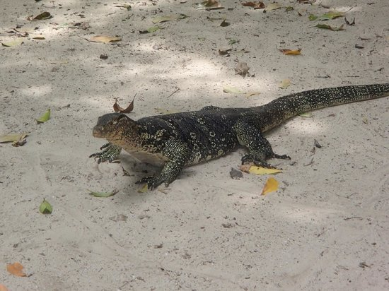 Layana Resort and Spa: Lizard on Koh Rok