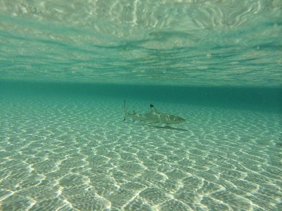 Gili Lankanfushi Maldives: Baby shark (black tip shark)