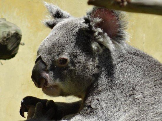 Zoo Aquarium de Madrid : Koala