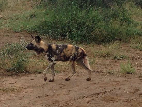 Madikwe River Lodge: one of the wild dogs