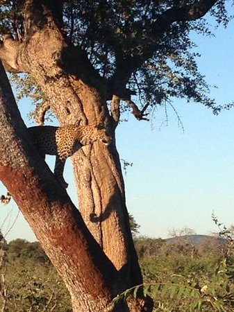 Three Cities Madikwe River Lodge : leopard that was posing beautifully for us