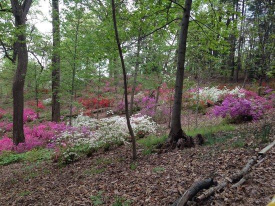 U.S. National Arboretum: Azalea Way