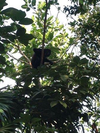 Sandos Playacar Beach Resort: Monkey near standard rooms