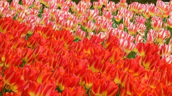 Wherels : tulipani