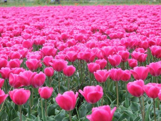 Wherels : tulipani in zona