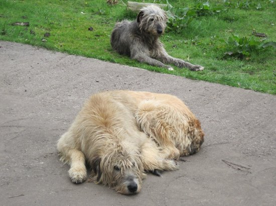 Kerry Bog Village Museum: Irish Wolfhounds