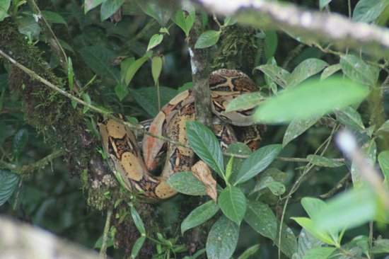 Rainforest Adventures: Boa constrictor