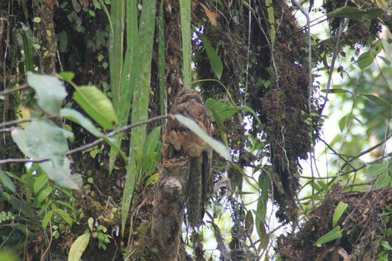 Rainforest Adventures : Potoo