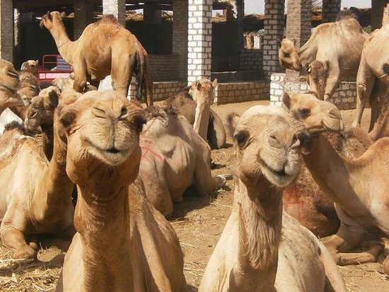 Aswan Individual - Daily Tour : Camel market at Darraw