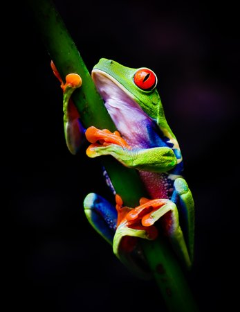 Peace Lodge: Red eyed tree frog
