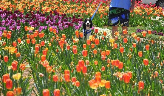 Barkwells, The Dog Lovers' Vacation Retreat : Tiptoeing thru the tulips at Biltmore estate