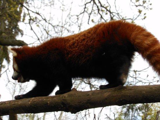 Dublin Zoo: red panda