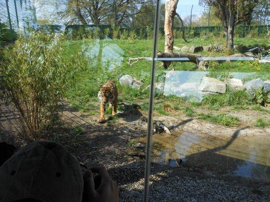 Dublin Zoo: tigre