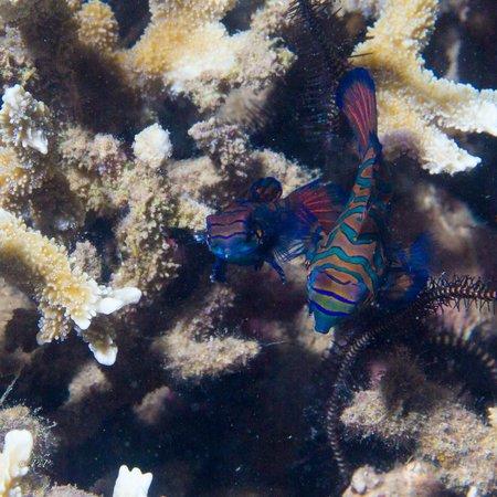Thalassa PADI Dive Resort: Mandarin Fishes