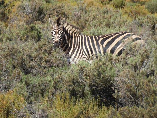 Aquila Private Game Reserve - Day Trip Safari: Zebra