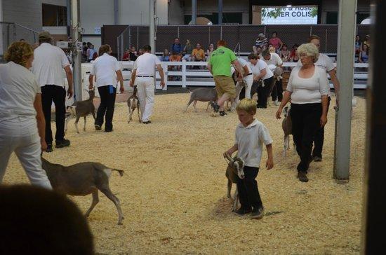 State Fairgrounds Minnesota: Livestock exhibitors