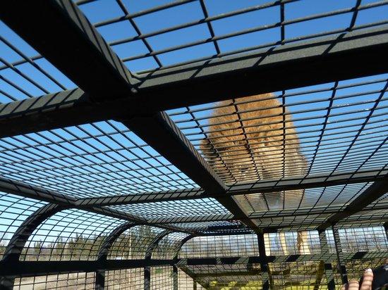 Parque Safari: Visitando a los leones dentro de un auto