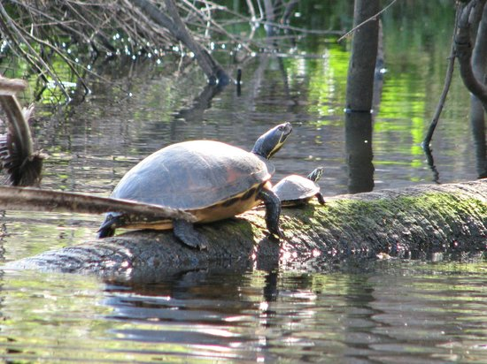 Canoe Outpost - Little Manatee River : Mom and baby