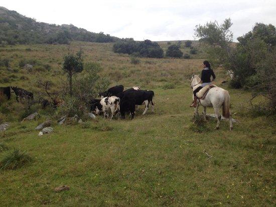 Posada Sierra de Mahoma : Arriamos vacas.