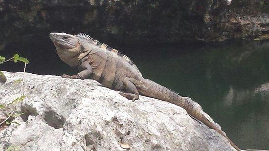 Luxury Bahia Principe Sian Ka'an: Iguanas everywhere...very cool!