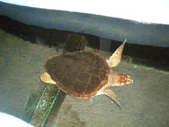 Museo Marino de Margarita : Tortuga