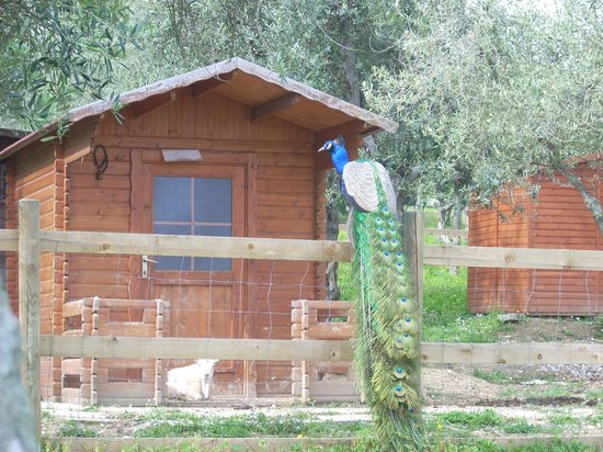 Garden Village San Marino : Il pavone