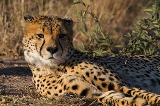 Tau Game Lodge : Game drive, Cheetah