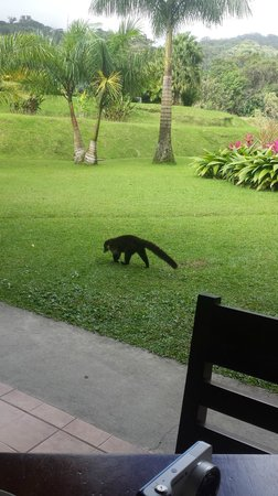 Hotel Lomas del Volcan: Coati by our dining table