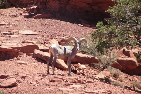 All-Star Grand Canyon Tours: Long Horn Sheep - a rare site in the Canyon