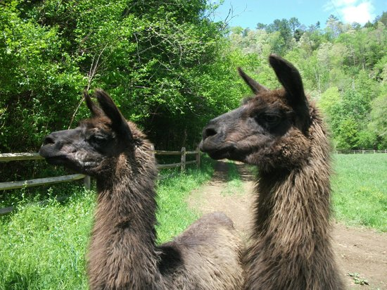 Foxfire Mountain Adventures: Llama's at Firefox Mountain