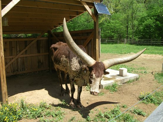 Foxfire Mountain Adventures: African Cow