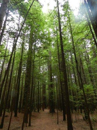 Redwoods, Whakarewarewa Forest : Redwoods