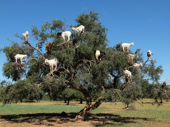 Marrakech Guided Day Tours : goats in trees...seriously!