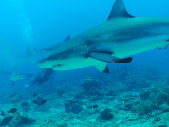 "Bananarama Beach and Dive Resort: Diving with the sharks,""must do before you die""."