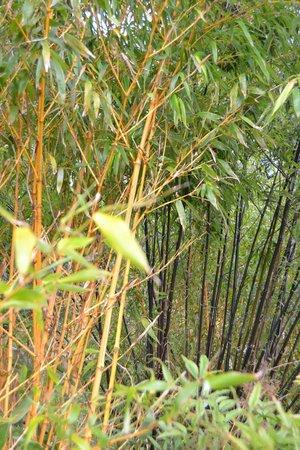 Batsford Arboretum: Bamboos