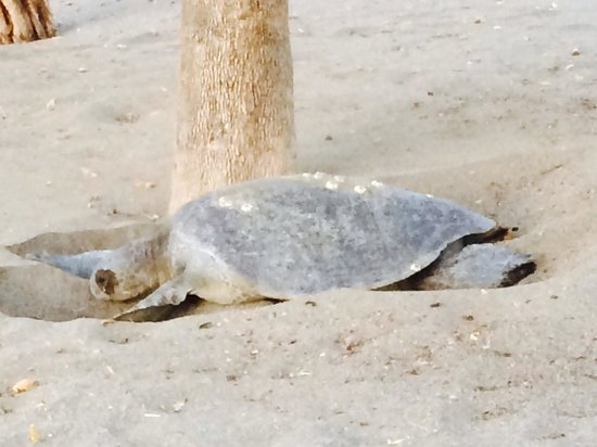 Hotel Riu Palace Costa Rica: Sea turtle laying eggs on our beach